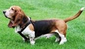 Бассет-хаунд описание породы, фото, характеристика, клички для собак, цена щенков, гипоаллергенный: нет