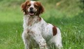 Бретонский эпаньоль описание породы, фото, характеристика, клички для собак, цена щенков, гипоаллергенный: нет