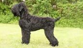 Русский чёрный терьер описание породы, фото, характеристика, клички для собак, цена щенков, гипоаллергенный: нет