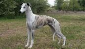 Уиппет описание породы, фото, характеристика, клички для собак, цена щенков, гипоаллергенный: нет