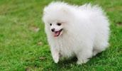 Померанский шпиц описание породы, фото, характеристика, клички для собак, цена щенков, гипоаллергенный: нет