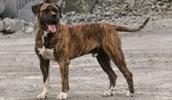 Канарский дог описание породы, фото, характеристика, клички для собак, цена щенков, гипоаллергенный: нет