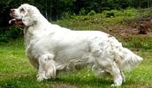 Кламбер-спаниель описание породы, фото, характеристика, клички для собак, цена щенков, гипоаллергенный: нет