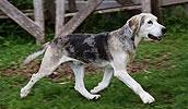 Дункер описание породы, фото, характеристика, клички для собак, цена щенков, гипоаллергенный: нет