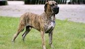 Бразильский фила описание породы, фото, характеристика, клички для собак, цена щенков, гипоаллергенный: нет