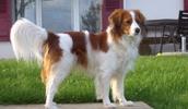 Коикерхондье описание породы, фото, характеристика, клички для собак, цена щенков, гипоаллергенный: нет