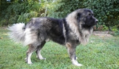Кавказская овчарка описание породы, фото, характеристика, клички для собак, цена щенков, гипоаллергенный: нет