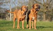 Тоса-ину описание породы, фото, характеристика, клички для собак, цена щенков, гипоаллергенный: нет