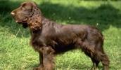 Филд спаниель описание породы, фото, характеристика, клички для собак, цена щенков, гипоаллергенный: нет