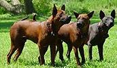 Тайский риджбек описание породы, фото, характеристика, клички для собак, цена щенков, гипоаллергенный: нет