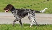 Малый мюнстерлендер описание породы, фото, характеристика, клички для собак, цена щенков, гипоаллергенный: нет
