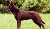 Австралийский келпи описание породы, фото, характеристика, клички для собак, цена щенков, гипоаллергенный: нет