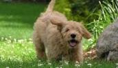 Голдендудль описание породы, фото, характеристика, клички для собак, цена щенков, гипоаллергенный: нет