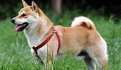 Сиба-ину описание породы, фото, характеристика, клички для собак, цена щенков, гипоаллергенный: нет