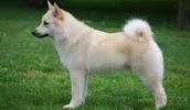 Норвежский бухунд описание породы, фото, характеристика, клички для собак, цена щенков, гипоаллергенный: нет