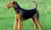 Эрдельтерьер описание породы, фото, характеристика, клички для собак, цена щенков, гипоаллергенный: да