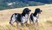 Большой мюнстерлендер описание породы, фото, характеристика, клички для собак, цена щенков, гипоаллергенный: нет