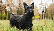 Шотландский терьер описание породы, фото, характеристика, клички для собак, цена щенков, гипоаллергенный: да