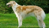 Русская псовая борзая описание породы, фото, характеристика, клички для собак, цена щенков, гипоаллергенный: нет