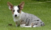 Вельш корги кардиган описание породы, фото, характеристика, клички для собак, цена щенков, гипоаллергенный: нет