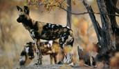 Гиеновидная собака описание породы, фото, характеристика, клички для собак, цена щенков, гипоаллергенный: нет