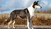 Короткошёрстный колли описание породы, фото, характеристика, клички для собак, цена щенков, гипоаллергенный: нет