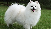 Американская эскимосская собака описание породы, фото, характеристика, клички для собак, цена щенков, гипоаллергенный: нет