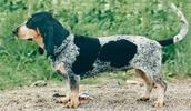 Голубая гасконская гончая описание породы, фото, характеристика, клички для собак, цена щенков, гипоаллергенный: нет