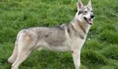 Северная Инуитская собака описание породы, фото, характеристика, клички для собак, цена щенков, гипоаллергенный: нет