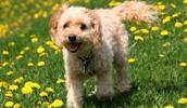 Кокапу описание породы, фото, характеристика, клички для собак, цена щенков, гипоаллергенный: нет