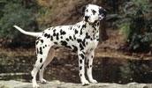 Далматин описание породы, фото, характеристика, клички для собак, цена щенков, гипоаллергенный: нет