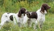 Французский эпаньоль описание породы, фото, характеристика, клички для собак, цена щенков, гипоаллергенный: нет