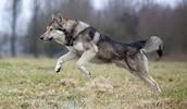 Волчья собака Сарлоса описание породы, фото, характеристика, клички для собак, цена щенков, гипоаллергенный: нет