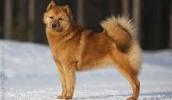 Финский шпиц описание породы, фото, характеристика, клички для собак, цена щенков, гипоаллергенный: нет