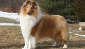 Длинношёрстный колли описание породы, фото, характеристика, клички для собак, цена щенков, гипоаллергенный: нет