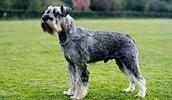 Миттельшнауцер описание породы, фото, характеристика, клички для собак, цена щенков, гипоаллергенный: нет