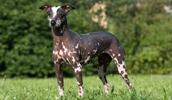 Голая собака инков описание породы, фото, характеристика, клички для собак, цена щенков, гипоаллергенный: да