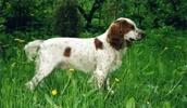 Русский охотничий спаниель описание породы, фото, характеристика, клички для собак, цена щенков, гипоаллергенный: нет