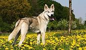 Тамасканская собака описание породы, фото, характеристика, клички для собак, цена щенков, гипоаллергенный: нет