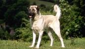 Анатолийская овчарка описание породы, фото, характеристика, клички для собак, цена щенков, гипоаллергенный: нет