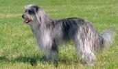 Пиренейская овчарка описание породы, фото, характеристика, клички для собак, цена щенков, гипоаллергенный: нет
