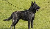Голландская овчарка описание породы, фото, характеристика, клички для собак, цена щенков, гипоаллергенный: нет