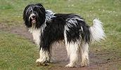 Скайтерьер описание породы, фото, характеристика, клички для собак, цена щенков, гипоаллергенный: нет
