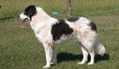 Буковинская овчарка описание породы, фото, характеристика, клички для собак, цена щенков, гипоаллергенный: нет