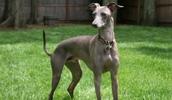 Левретка описание породы, фото, характеристика, клички для собак, цена щенков, гипоаллергенный: да
