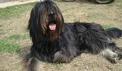 Сапсари описание породы, фото, характеристика, клички для собак, цена щенков, гипоаллергенный: нет