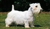 Силихем-терьер описание породы, фото, характеристика, клички для собак, цена щенков, гипоаллергенный: да