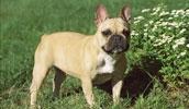 Французский бульдог описание породы, фото, характеристика, клички для собак, цена щенков, гипоаллергенный: нет