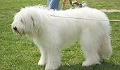 Южнорусская овчарка описание породы, фото, характеристика, клички для собак, цена щенков, гипоаллергенный: нет