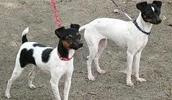 Японский терьер описание породы, фото, характеристика, клички для собак, цена щенков, гипоаллергенный: нет